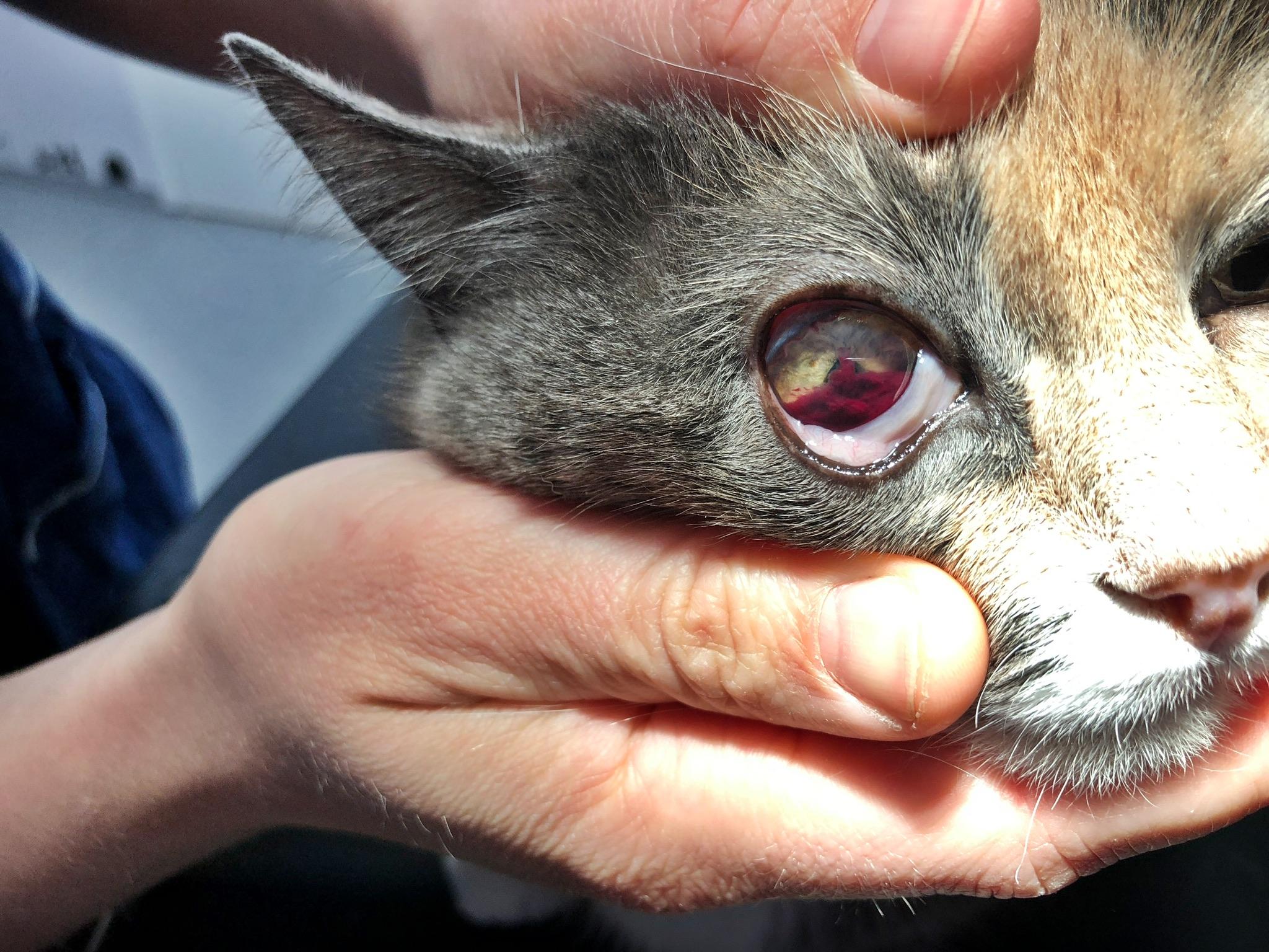 Blödning i ögat hos katt